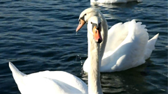 一群白天鹅戏水觅食高清特写镜头
