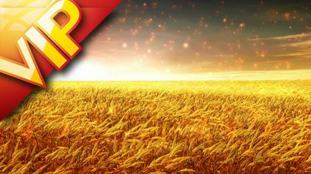 金色麦浪 风吹麦浪主题歌曲无缝循环LED大屏幕背景视频(含音乐)