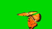 蝴蝶飞舞视频 带通道绿色背景 抠绿视频素材