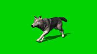 狼奔驰走路进展动画视频素材 带通道可抠绿去配景