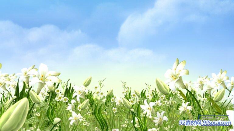 百合花开放 百合花海高清动态背景视频素材