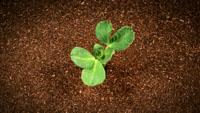 植物破土而出 植物快速生长发芽 高清实拍动态视频