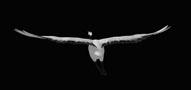 飞鹤多个角度飞翔动画 带通道可循环动态视频素材