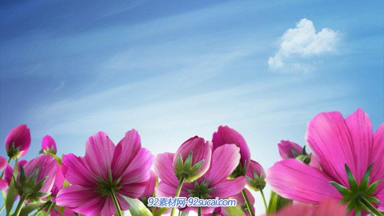 2段唯美风景动画 蓝天白云下的紫色小花朵 动态背景视频素材
