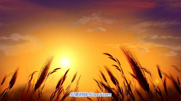 黄昏天空下的风吹麦穗柔和风景特写镜头 高清动态背景