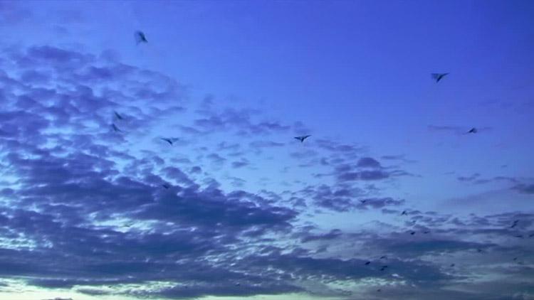 5组群鸟纷飞 birds 飞鸟带通明通道高清实拍视频素材