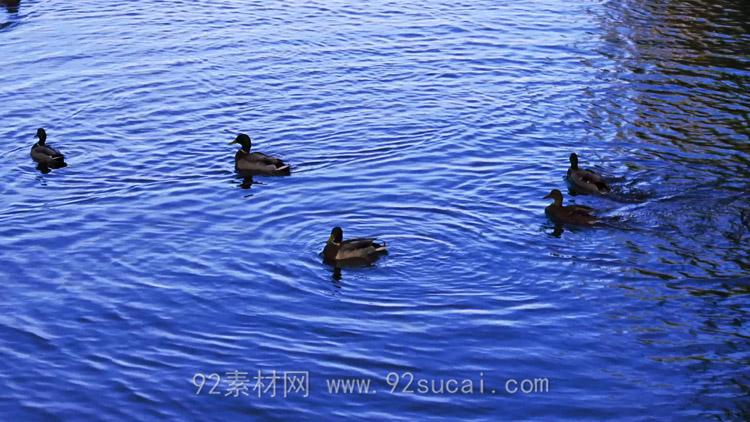 湖水中的鸭子戏水 鸭子起飞泛起波澜 4K超高清实拍视频素材