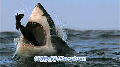2组大鲨鱼吃小鱼 老鹰的镜头 高清实拍视频素材