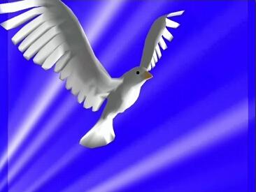 鸽子飞舞 鸽子爱心爱情鸽 和平鸽动态视频素材-带透明通道