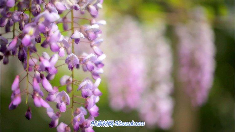 树上开着紫色的小花朵特写 高清实拍视频