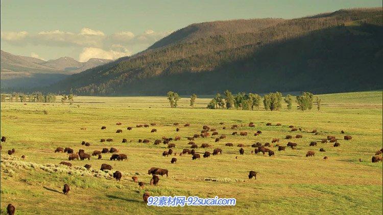 2组牛群在大草原上吃草的镜头 高清实拍视频素材