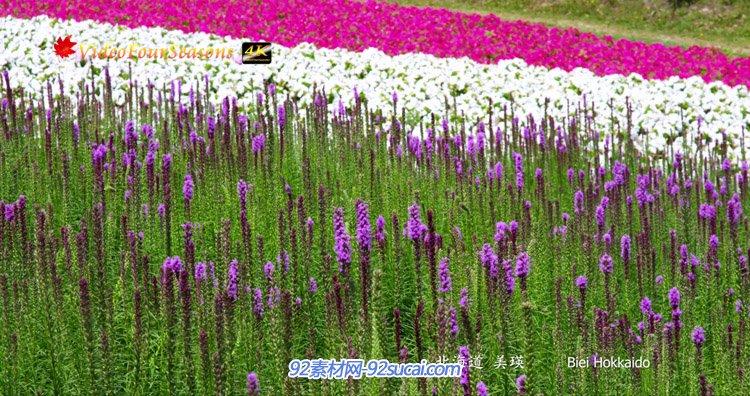 [4K超高清]电视演示片-四季花开美丽的富良野-美瑛花风景实拍视频