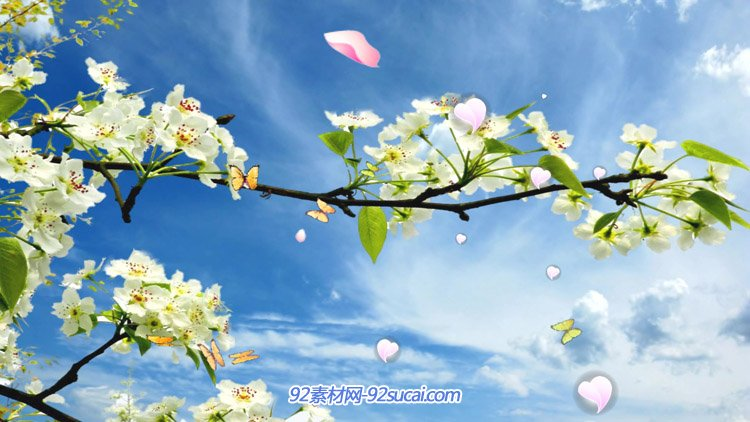 唯美自然梨花三月尽春晖蓝天白云蝴蝶飞花瓣飘落背景动态视频素材