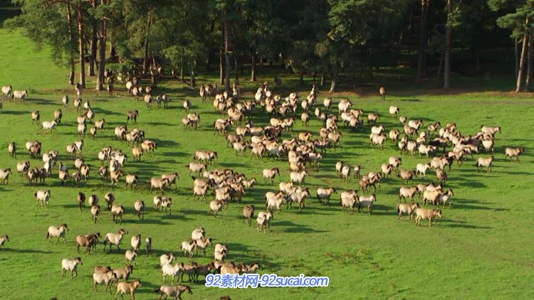 在草原上奔跑奔腾的马群 群马奔驰高清实拍视频素材