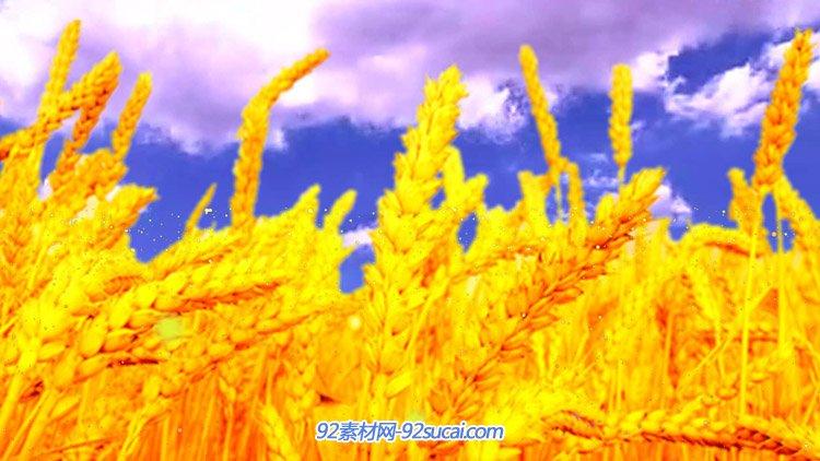蓝天下金黄色的麦穗丰收 粒子飞舞高清动态背景视频素材