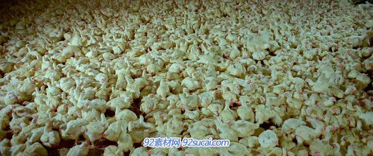 养殖场养鸡场里的鸡群 扫鸡车将鸡装进车笼子里高清实拍视频