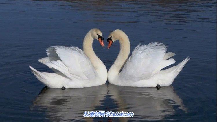 两只白天鹅在水中游玩 高清实拍视频素材