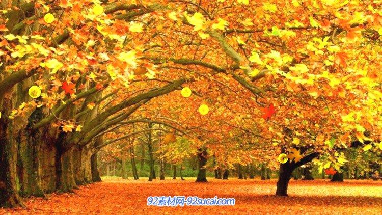 红杉树 秋天季节枫树林枫叶飘落洒满道路 浪漫动态背景视频素材