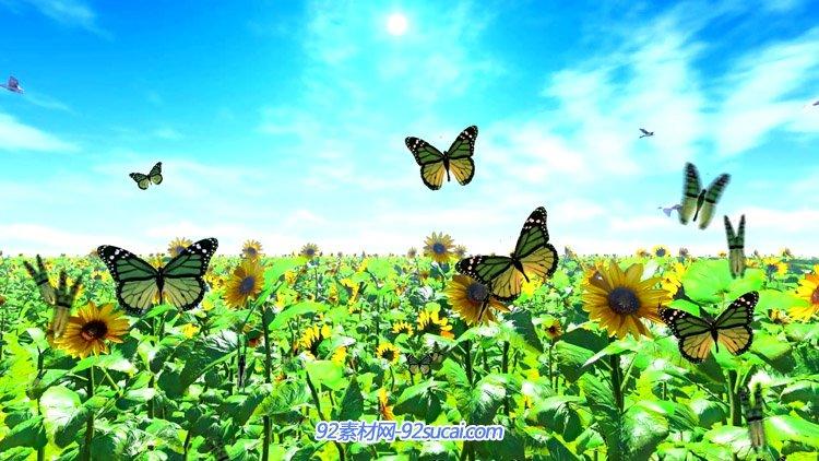 盛开的向日葵花园 太阳花海蝴蝶群飞舞 唯美风光动态背景视频素材