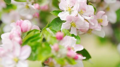 唯美粉色花朵 樱花盛开自然风光风景 高清实拍视频素材