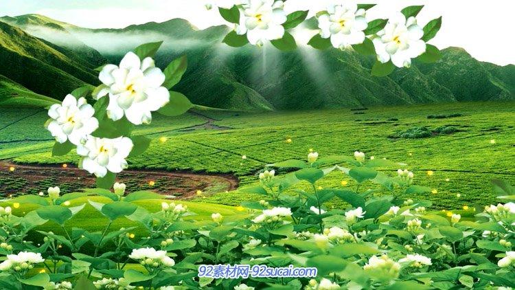 优美的茉莉花茶园风景 传神的茉莉花花朵飞翔高清LED静态配景视频