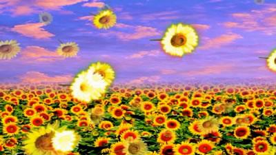 一望无际向日葵花少太阳花田地 花朵飘落大屏幕动态背景视频素材