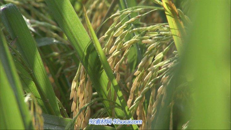 稻田里的水稻歉收在望稻田里丰满的稻谷特写农业农田高清实拍视频
