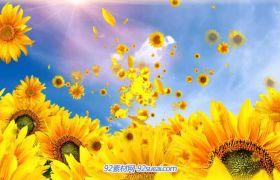 向阳花-向日葵花飞舞 高清LED舞台背景动态视频素材(有音乐)