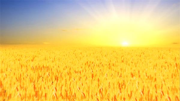 绚烂阳光光辉四射金色麦田随风拂动配景视频素材