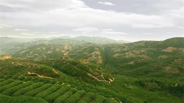 茶业企业公司品牌形象宣传片 坪山功夫茶采摘制作流程高清实拍