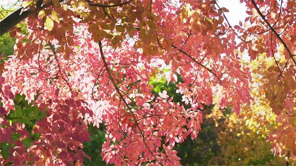 自然美景空镜头秋天的树叶落叶树叶落下阳光透过缝隙高清实拍