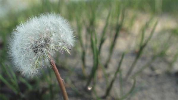魅力蒲公英飘散大地自然风景 蒲公英植物实拍
