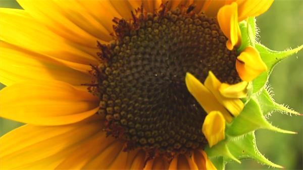 阳光活力鲜艳色彩向日葵植物生长 向日葵高清拍摄