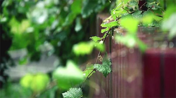 毛毛细雨雨滴翠绿葡萄藤地板 下雨天高清实拍