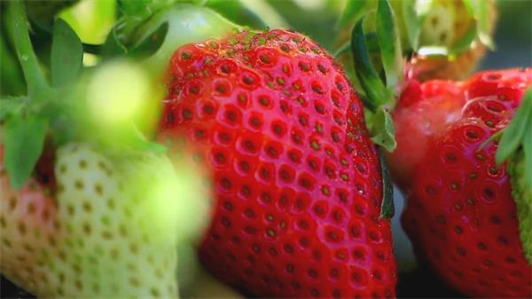 草莓种植园布满红红绿绿草莓微距特写高清拍摄实拍