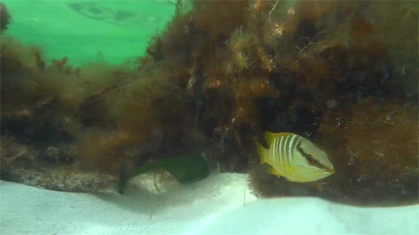 明澈见底海底天下阳光照射海草寒带鱼高清实拍