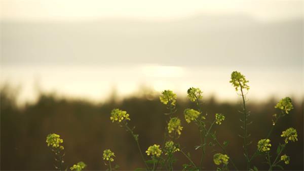 唯美河岸植物油菜花变焦高清微距实拍