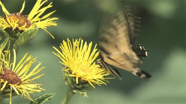 菊花 蝴蝶采粉授粉過程近距離實拍高清視頻素材