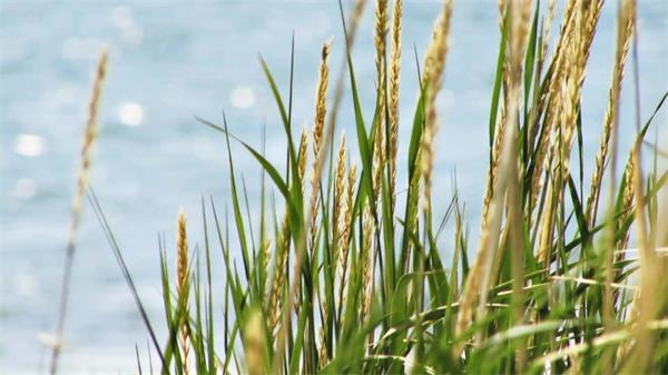 海边海风麦田小麦风中起舞实拍高清视频素材