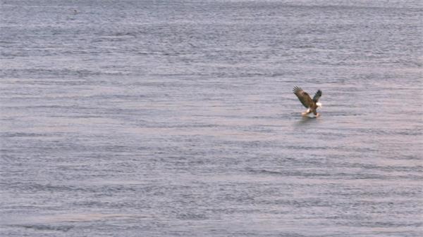 老鹰飞行海面捕捉猎物延时慢镜实拍高清视频素材