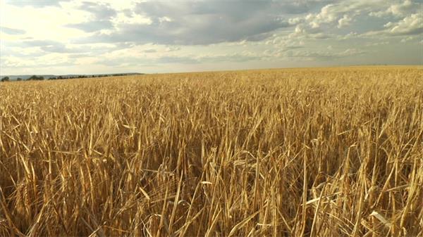 一望无际金色麦田成熟丰收实拍高清视频素材