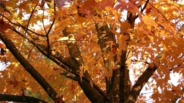 秋天枫树落叶慢动作延时实拍高清视频素材