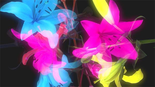 绚丽百合花美丽绽放收缩层叠投影鲜花视频素材