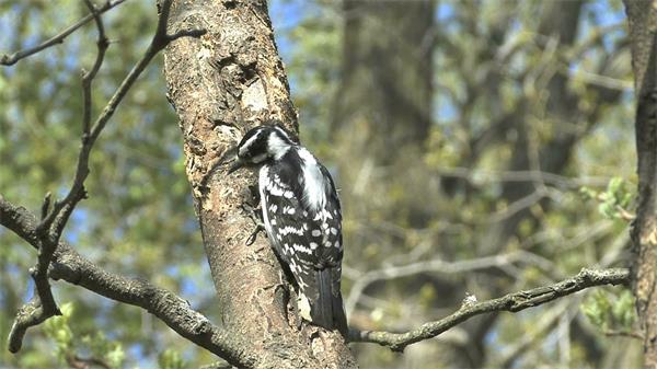 風和日麗啄木鳥覓食樹木蛀蟲實拍高清視頻素材