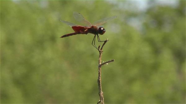 红蜻蜓矗立树枝顶端实拍高清视频素材