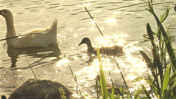 池塘阳光反射闪耀鸭子漫游水波荡漾高清视频实拍