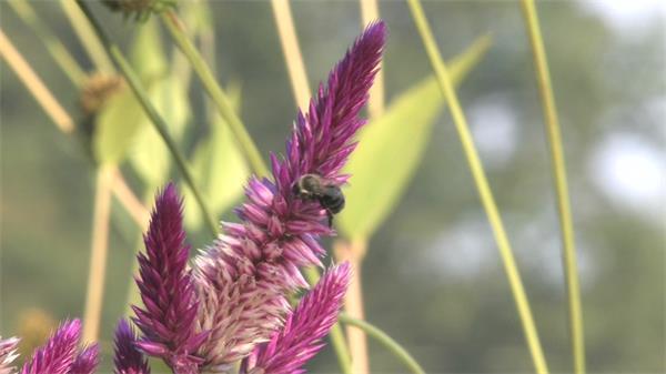 紫色薰衣草虫豸授粉近拍实拍高清视频素材