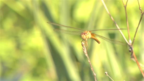 翠绿植物模糊背景蜻蜓捉紧小草风吹摇摆近距离视频实拍