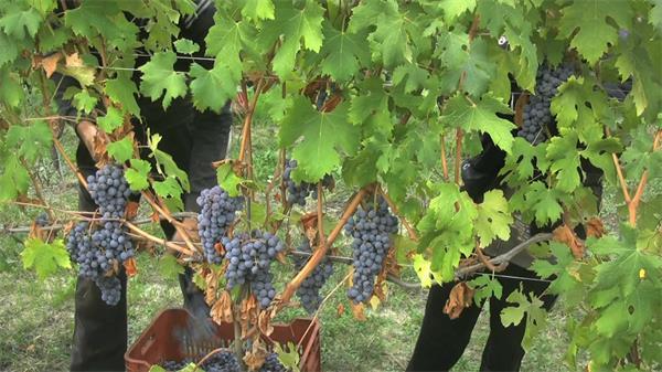 秋季葡萄豐收季節人工采集實拍高清視頻素材