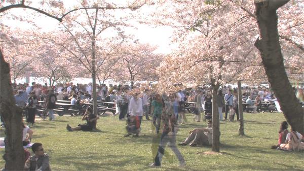 灿烂阳光樱花盛开美景人群野餐观赏景色延时视频实拍